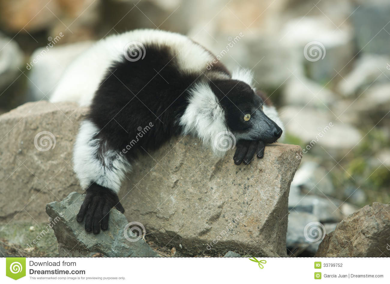 Ruffled Lemur (Varecia Variegata) Royalty Free Stock Images.