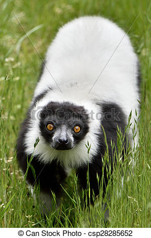 Stock Images of Black and white ruffed Lemur (Varecia variegata.