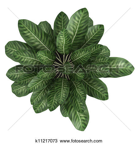Drawing of Dieffenbachia with variegated leaves k11217073.
