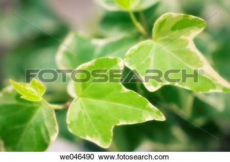 Stock Photography of Ivy Leaves. Hedera Helix Ivy variegated.