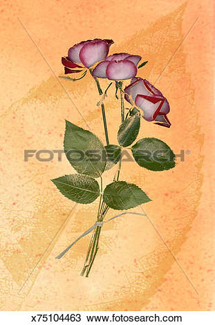 Drawing of Variegated Rose on Leaf Background x75104463.