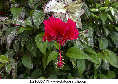 Stock Photography of Hibiscus Bush with Red Flower and Variegated.