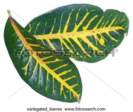 Stock Images of Variegated leaves variegated_leaves.