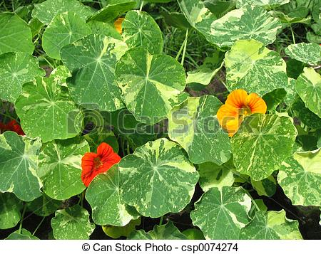 Stock Photo of nasturtium flowers.