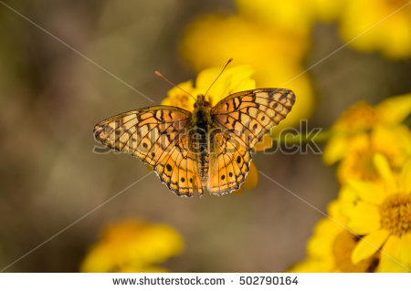 Fritillary Butterfly White Background Stock Photos, Royalty.