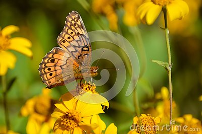Variegated Fritillary Stock Photos, Images, & Pictures.