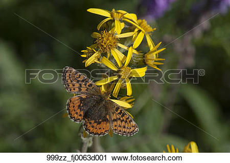 Stock Photography of Close up of the butterfly Arctic Fritillary.