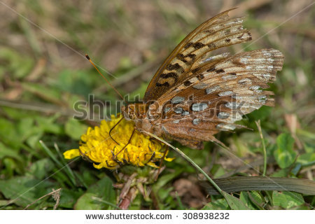 Great Spangled Fritillary Butterfly Stock Photos, Royalty.