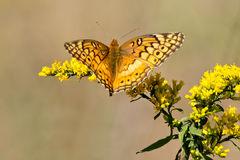 Variegated Fritillary Butterfly (Euptoieta Claudia) Royalty Free.