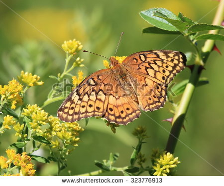 Variegated Fritillary Butterfly Stock Photos, Royalty.