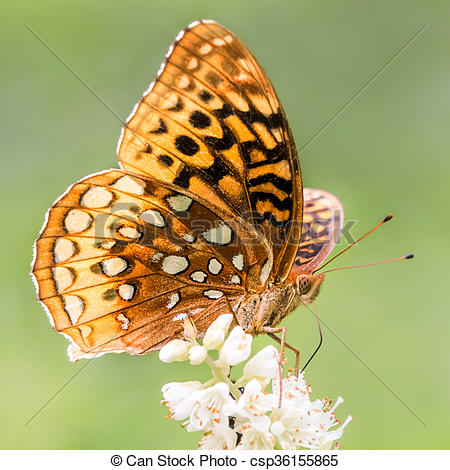Stock Image of Aphrodite Fritillary Perched on a White Flower.