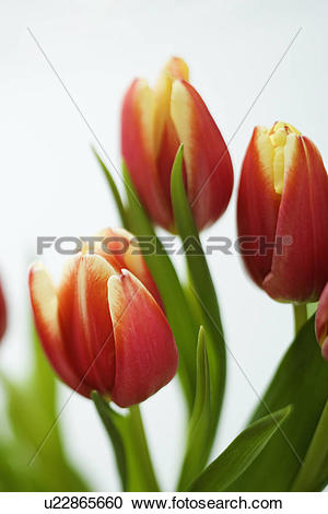 Stock Photography of Variegated red and yellow tulip flowers.