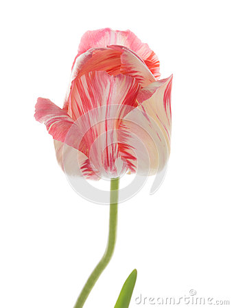 Beautiful Pink And White Variegated Tulip Stock Photo.