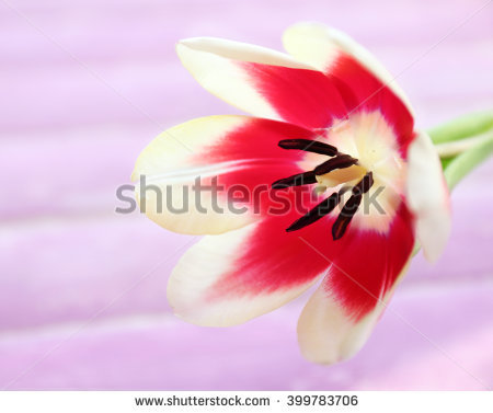 Variegated Tulip Stock Photos, Royalty.