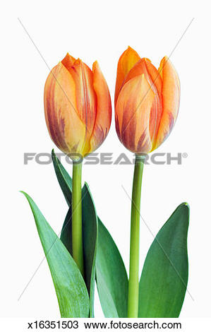Stock Photo of Two orange variegated tulips against white.