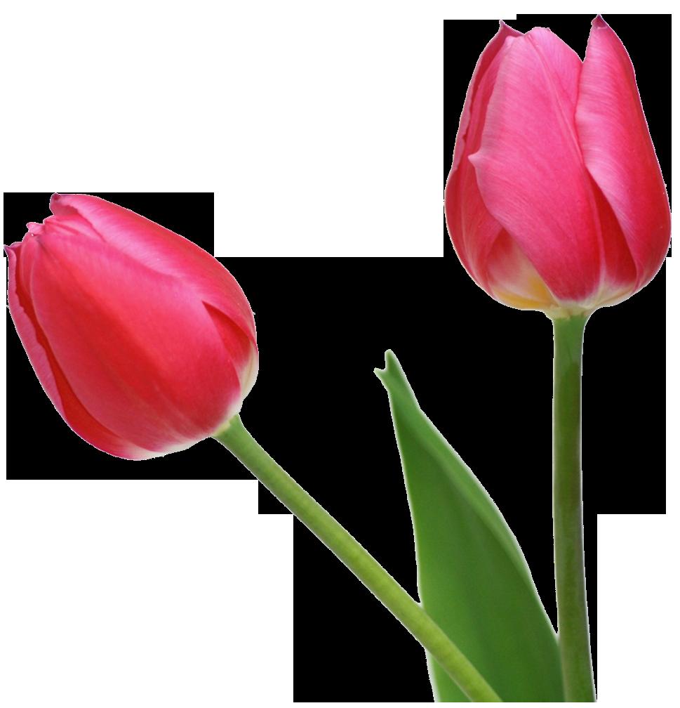 Large Black Tulip PNG Clipart.