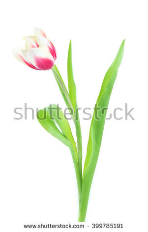 Variegated Tulips Stock Images, Royalty.