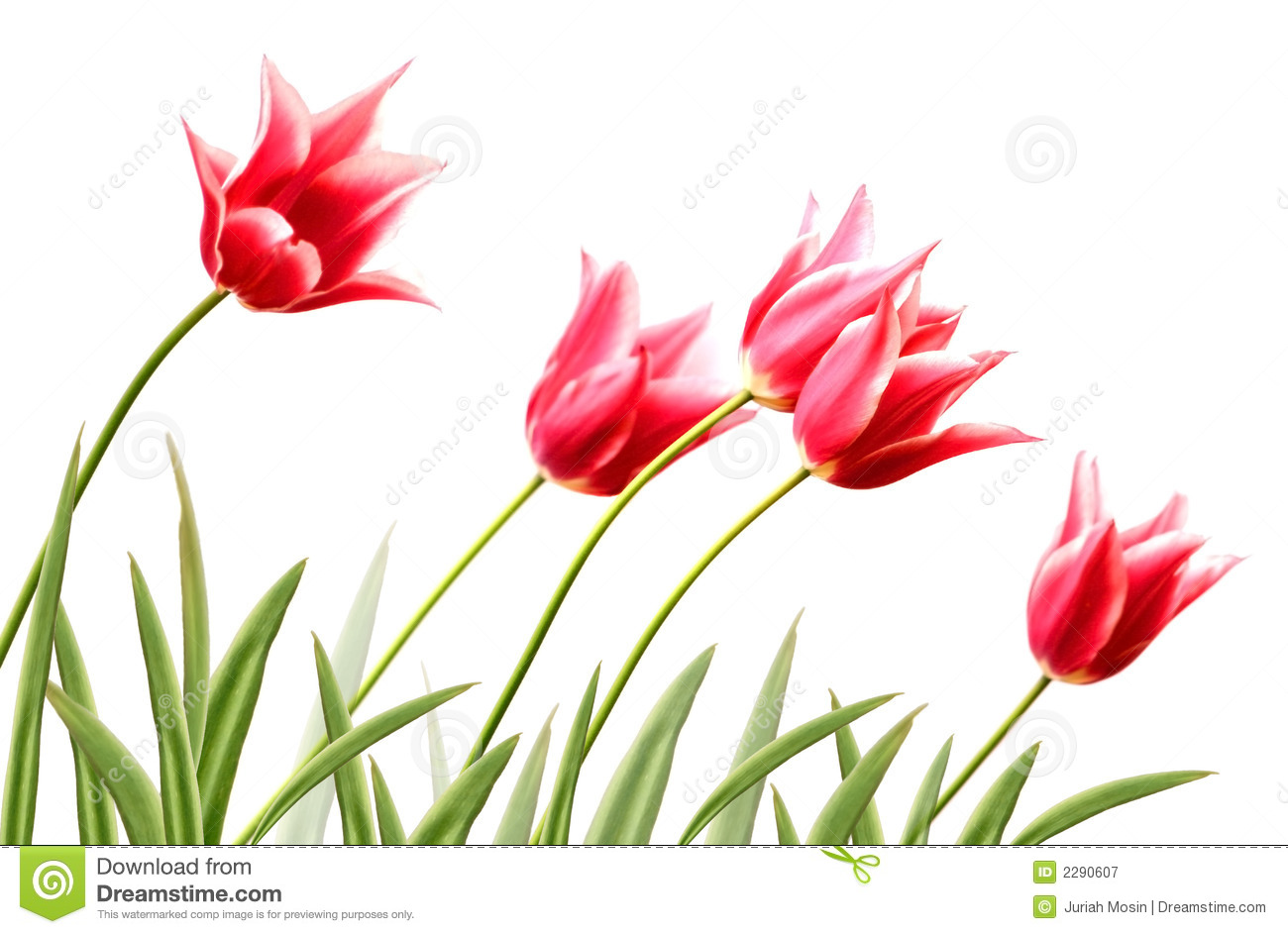 Row Variegated Tulips Royalty Free Stock Photography.