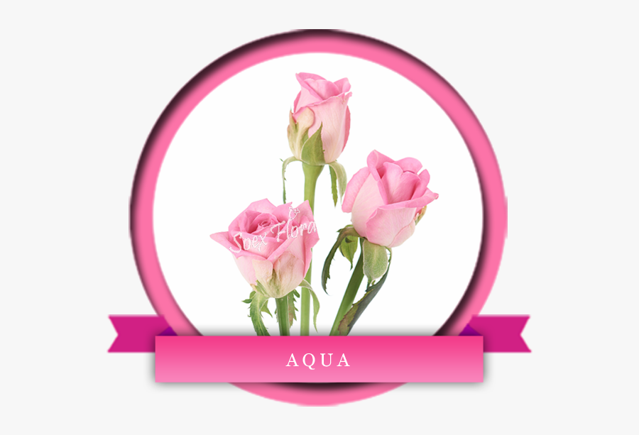 Revival Rose Variety , Free Transparent Clipart.