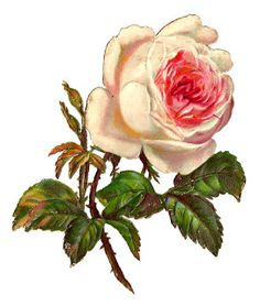 pink rose clip art, York Lancaster rose, vintage flower.