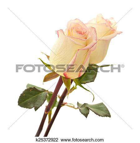 Stock Photo of cream and pink variegated rose k25372922.