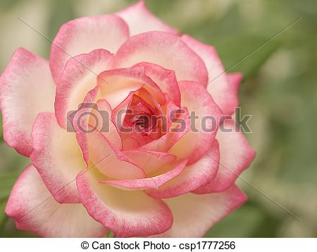 Stock Image of pink and white variegated miniature rose.