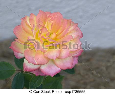Stock Images of pink yellow white variegated miniature rose.