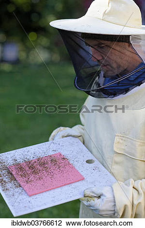"Stock Photo of ""Beekeeper checking his colonies for the Varroa."