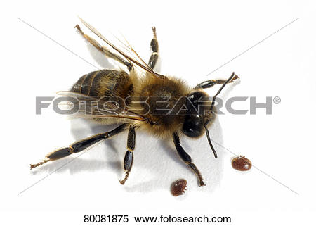Stock Image of DEU, 2006: European Honey Bee, Western Honey Bee.