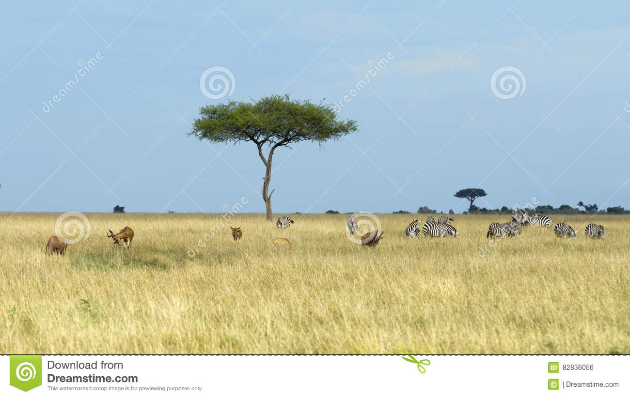 One Acai Tree With Vast Expanse Of Grassland With Herd Zebras And.