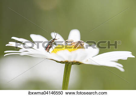 Stock Photography of Goldenrod Crab Spider (Misumena vatia.