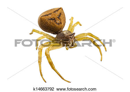 Stock Photo of goldenrod crab spider species Misumena vatia.