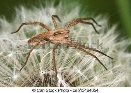 Stock Images of loxosceles rufescens misumena vatia.