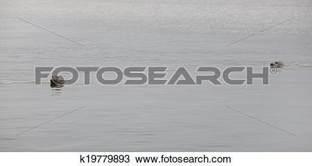 Stock Photo of Iceland. Vatnsnes Peninsula. Seals swimming in the.