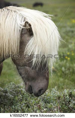 Picture of Iceland. Vatnsnes Peninsula. Icelandic horse. k16552477.