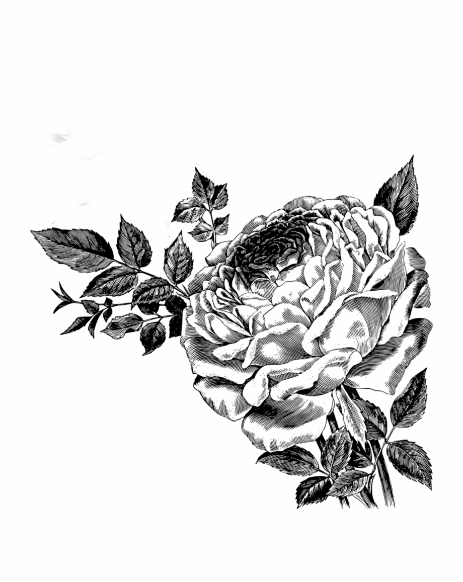 Drawing Of Roses Vector Clipart.