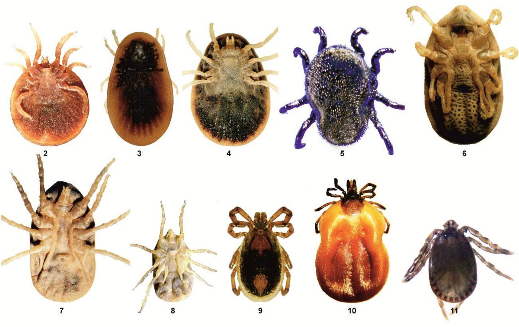 The updated list of ticks (Acari: Ixodidae & Argasidae.