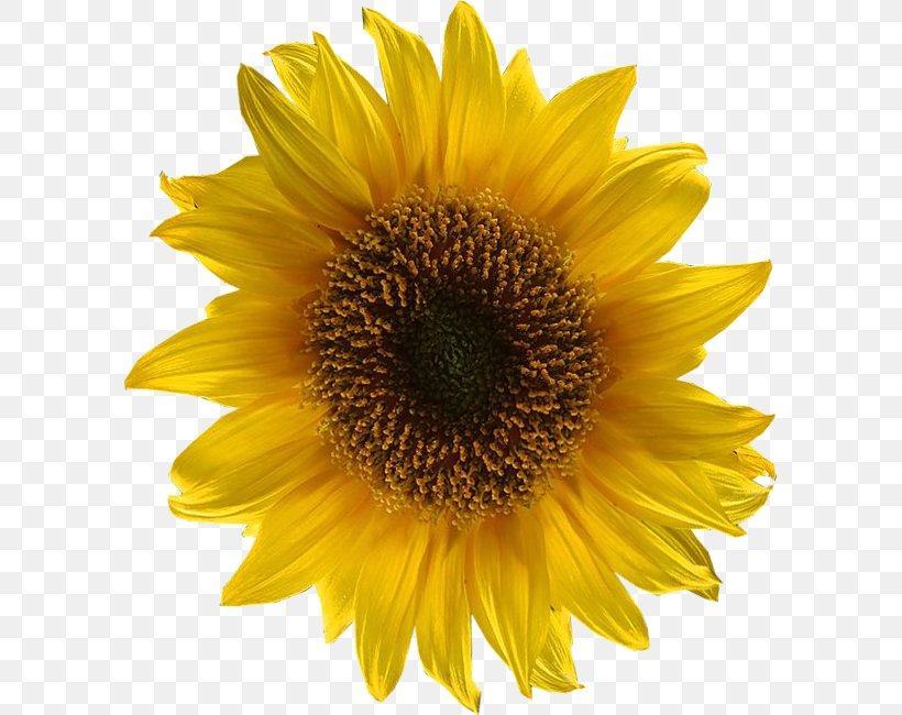 Vector Graphics Common Sunflower Clip Art Euclidean Vector.