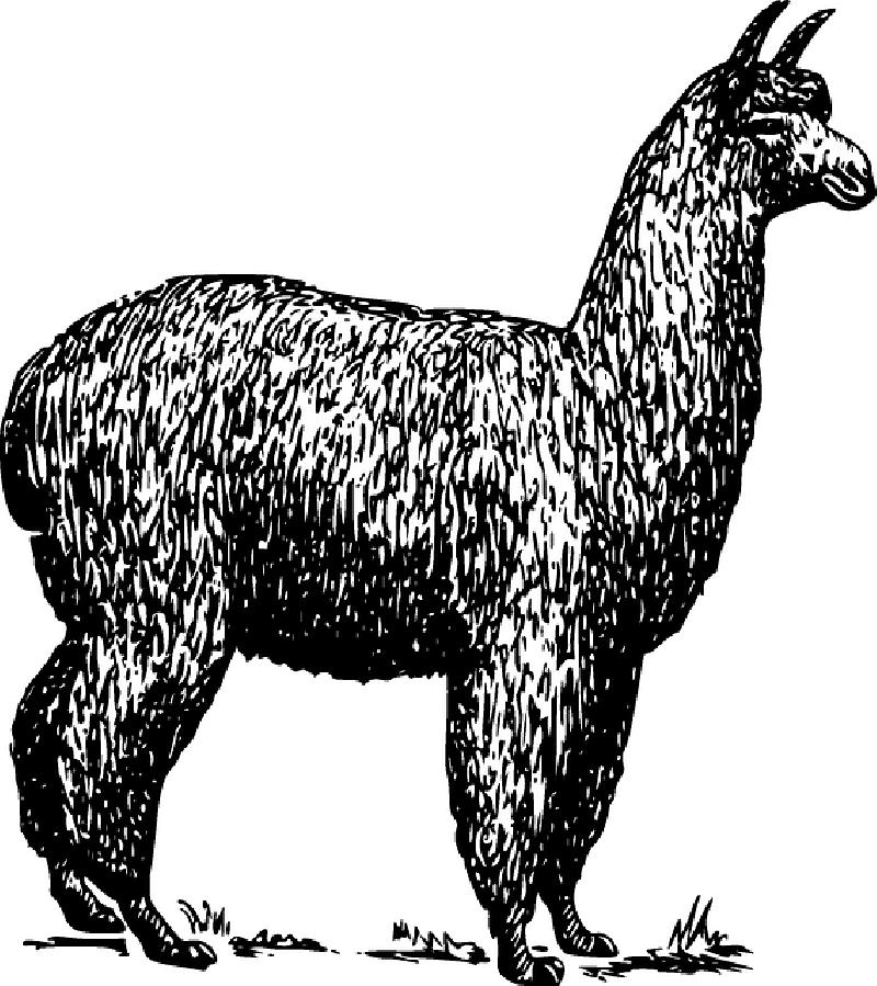 Alpaca Llama Vector graphics Clip art Drawing.