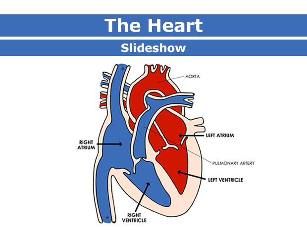 Body Basics: The Heart (Slideshow) (for Parents).