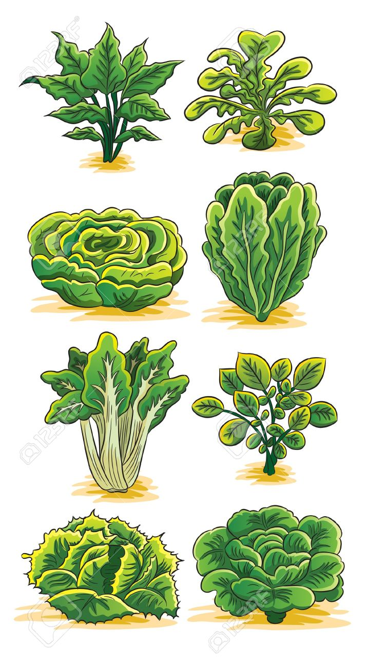 Green spinach clipart.