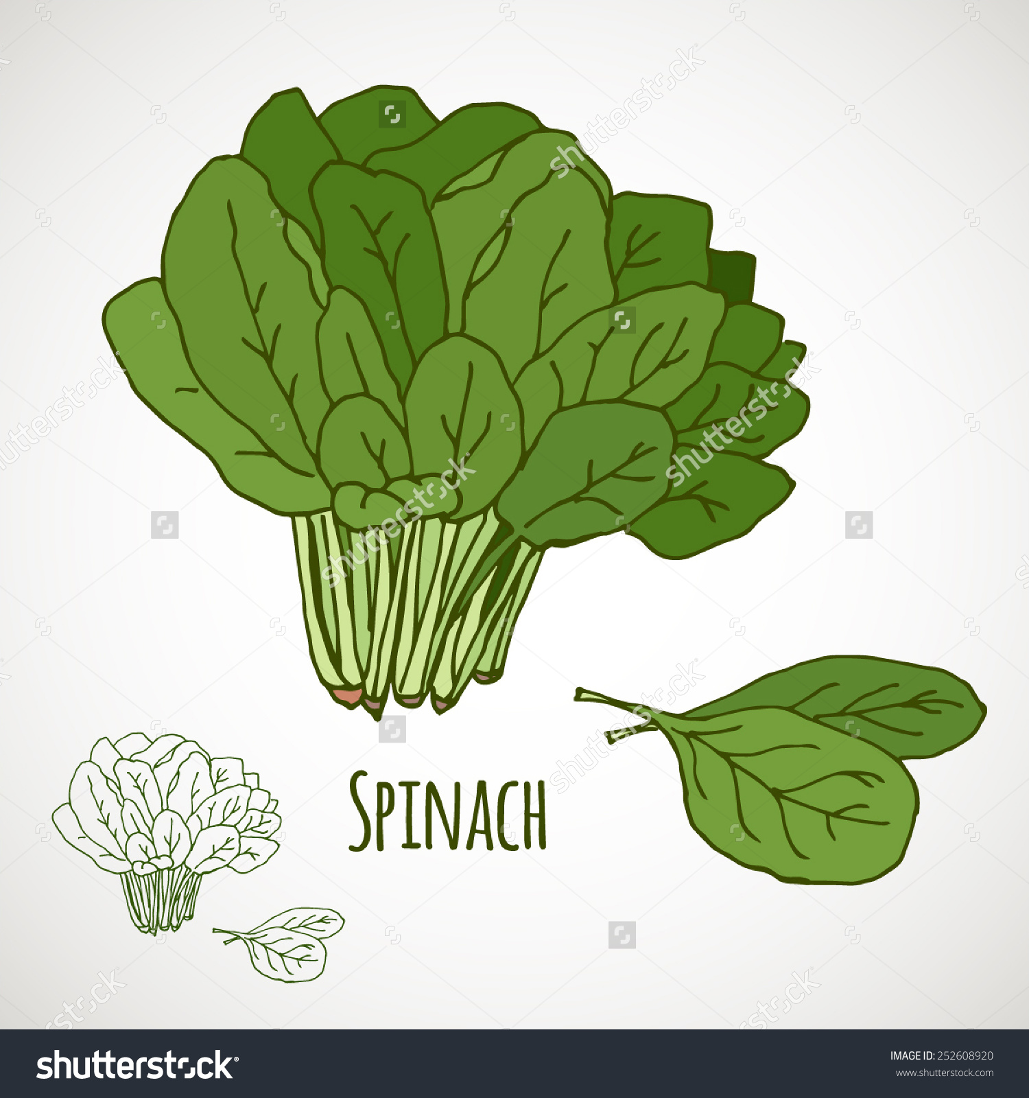 Spinach Green Salad Leaf Vegetable Healthy Stock Vector 252608920.