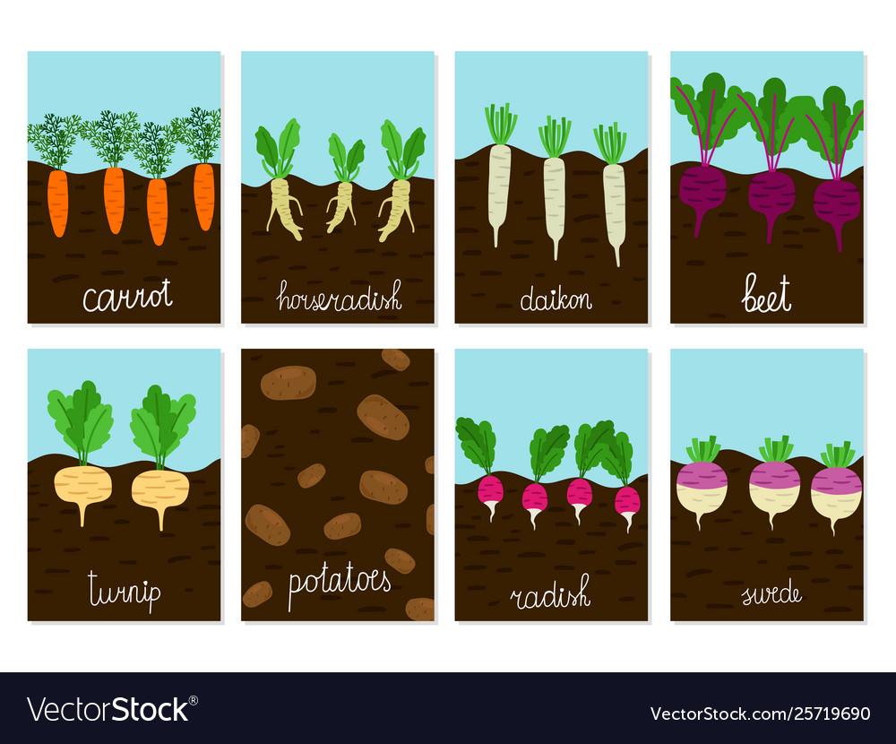 Roots vegetables garden growing cards.
