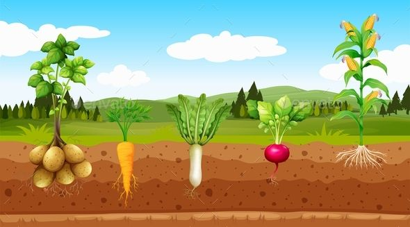 Agriculture Vegetables And Underground Root #Vegetables.