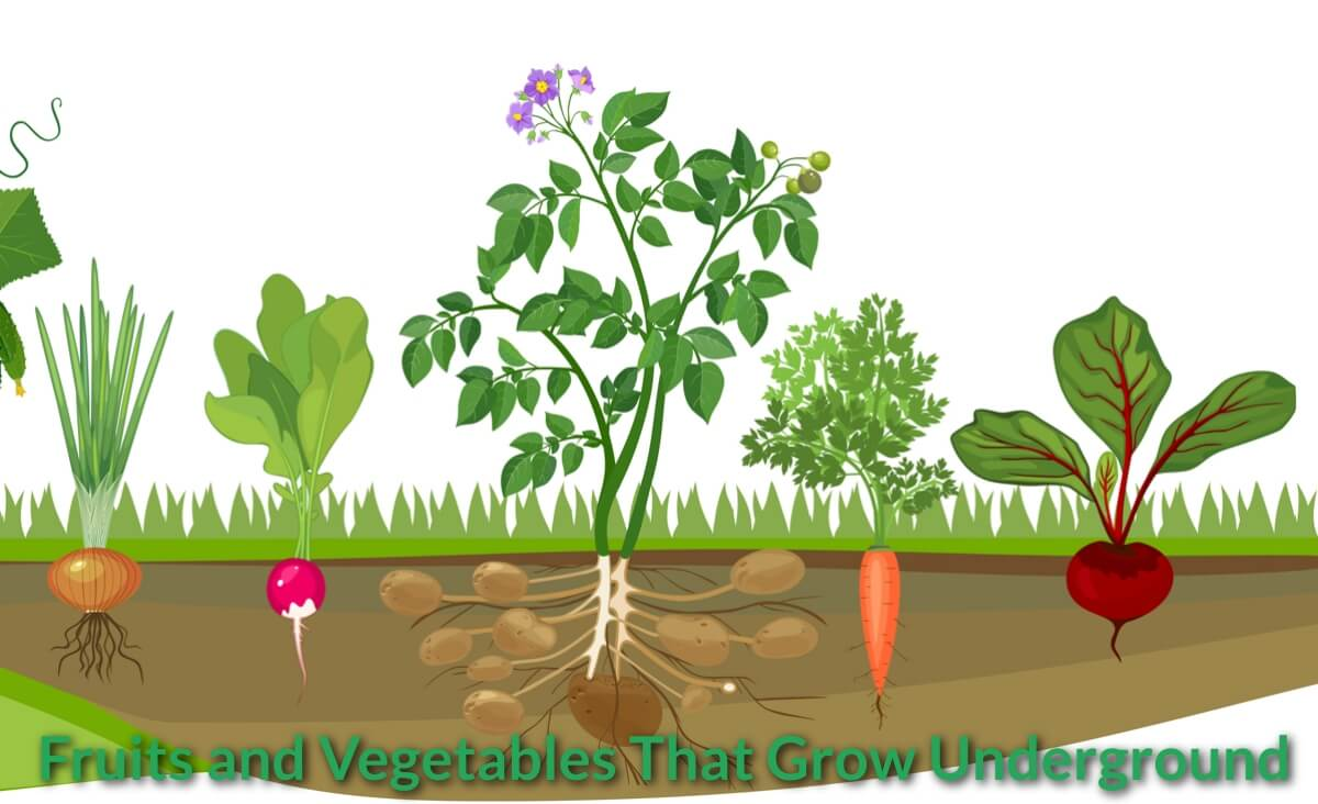 Fruits and Vegetables That Grow Underground.
