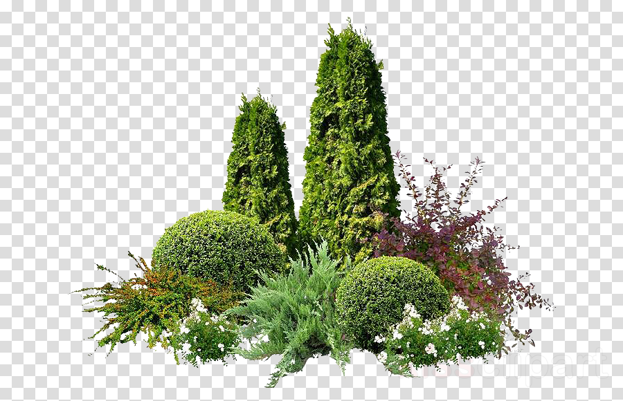 plant tree vegetation thuya lodgepole pine clipart.
