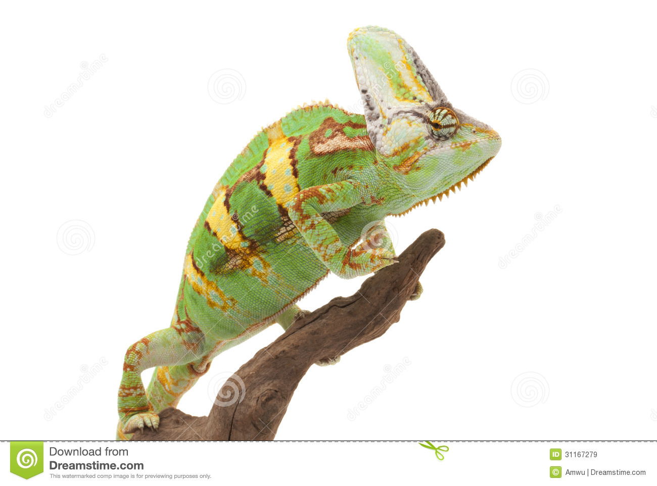 Anery Mexican Night Snake Royalty Free Stock Photo.