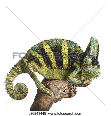 Stock Photograph of Veiled chameleon u86841449.