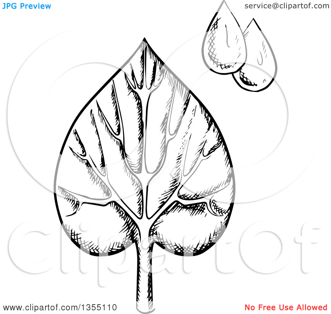 Clipart of a Black and White Sketched Veined Leaf and Water Drops.