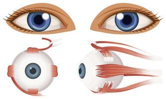 Eye Free Vector Art.